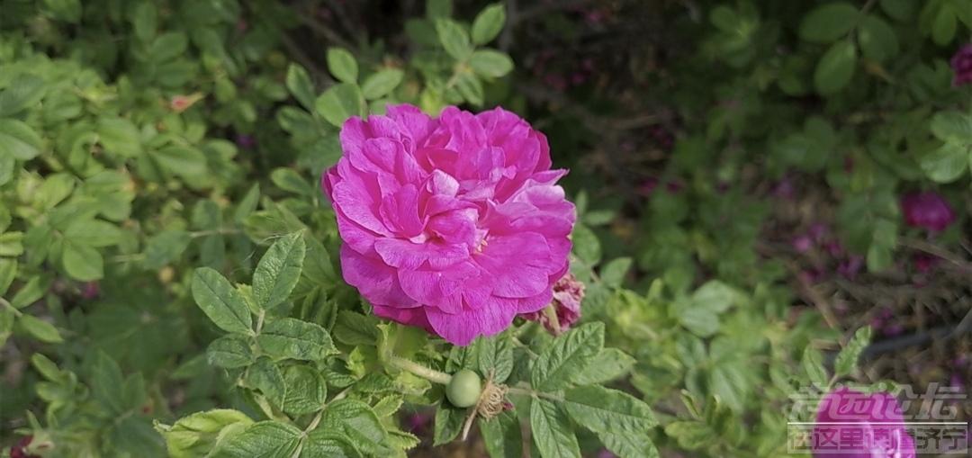 食用玫瑰.jpg