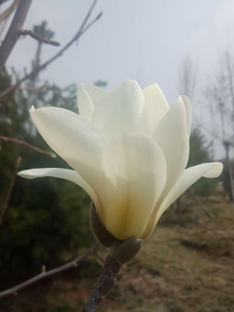 白玉兰花,紫玉兰花,好像会动-2.jpg