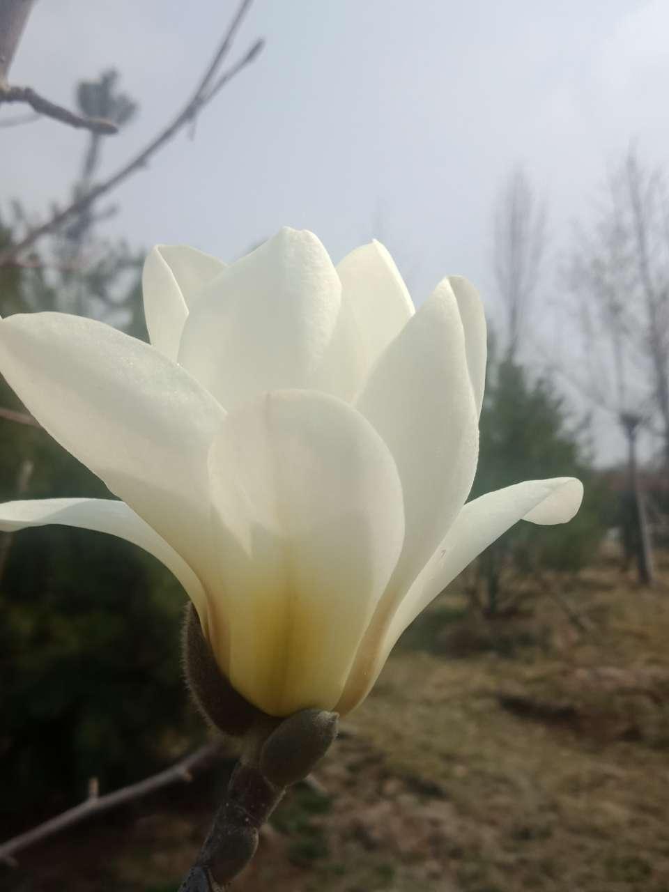 白玉兰花,紫玉兰花,好像会动-1.jpg