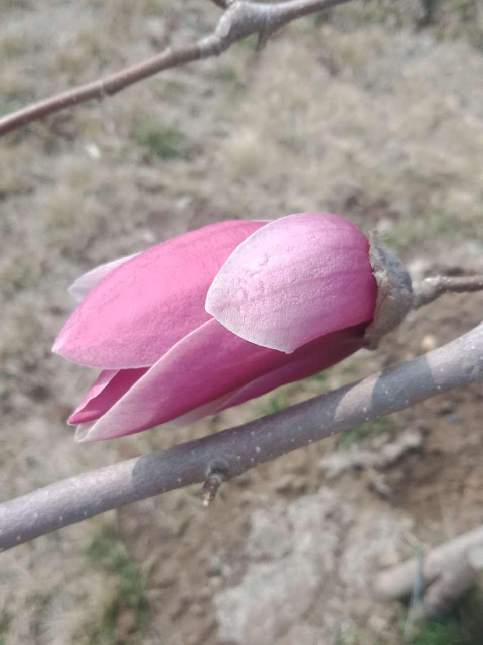 白玉兰花,紫玉兰花,好像会动-8.jpg
