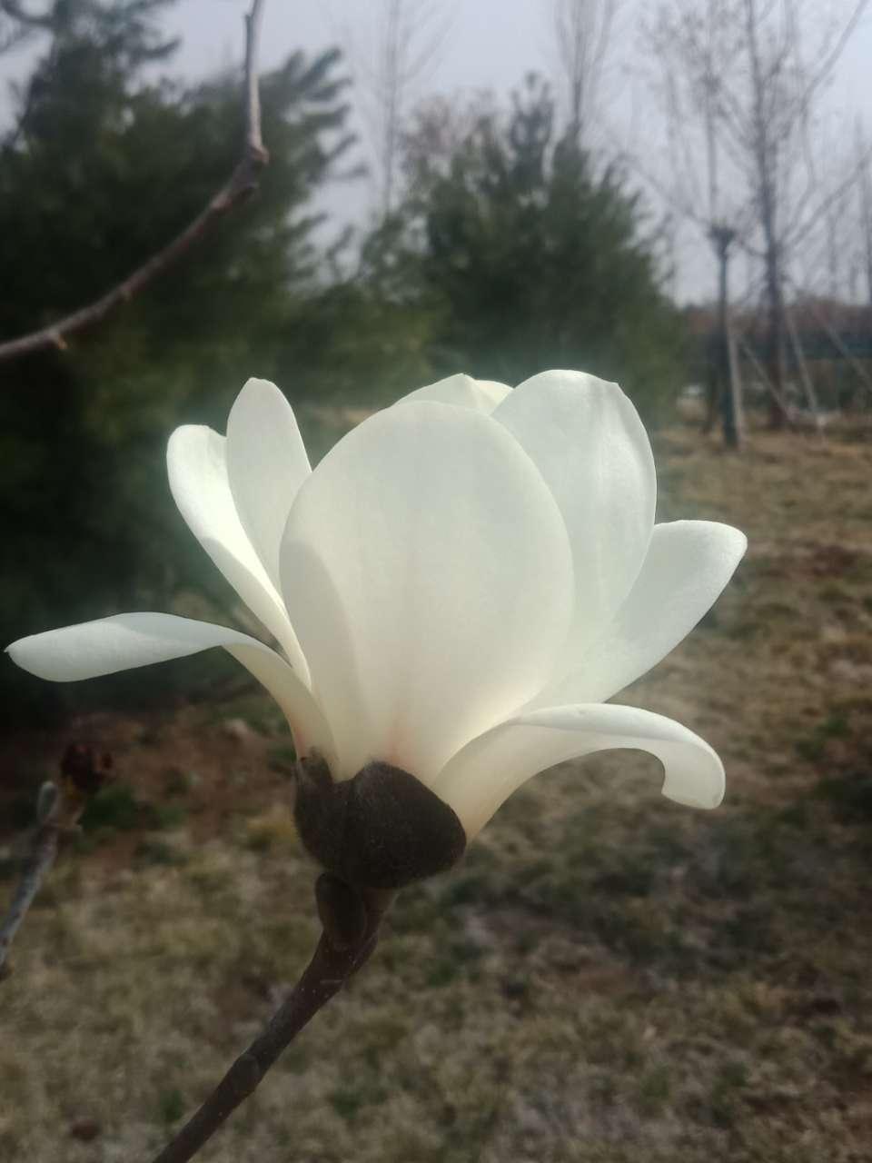 白玉兰花,紫玉兰花,好像会动-4.jpg