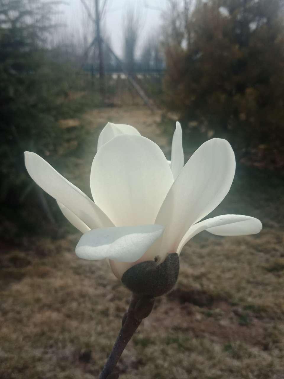 白玉兰花,紫玉兰花,好像会动-5.jpg