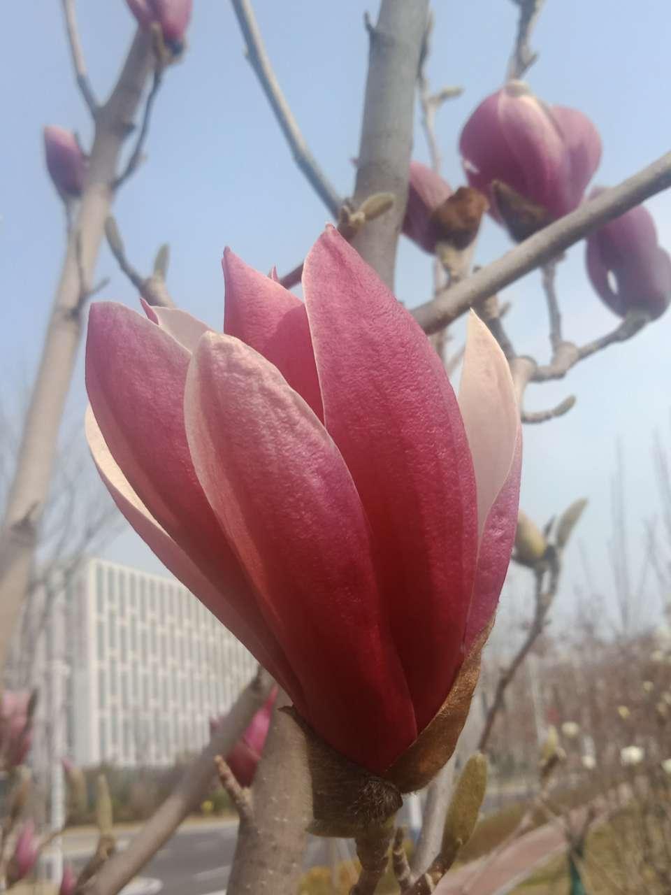 白玉兰花,紫玉兰花,好像会动-13.jpg