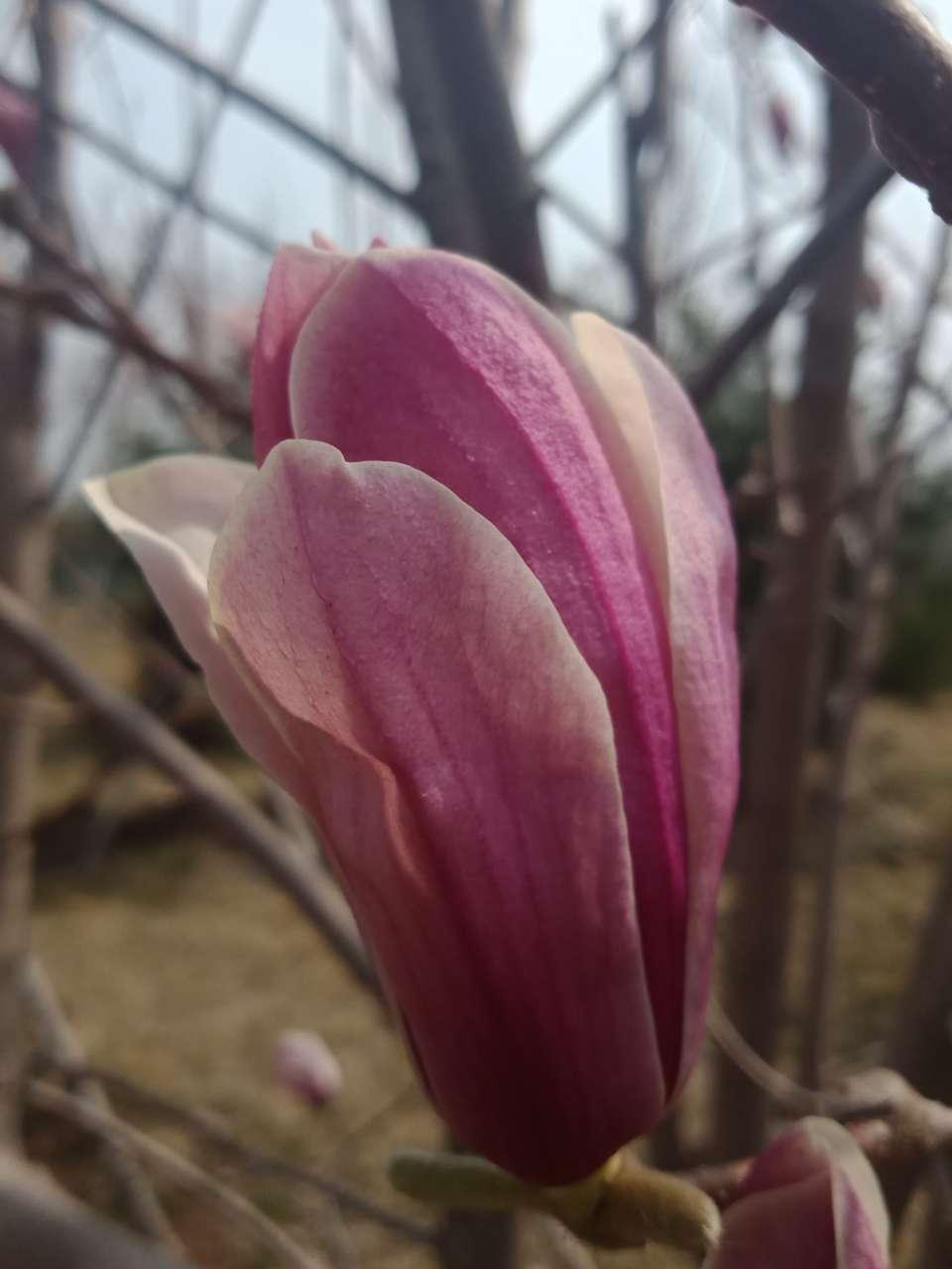 白玉兰花,紫玉兰花,好像会动-14.jpg
