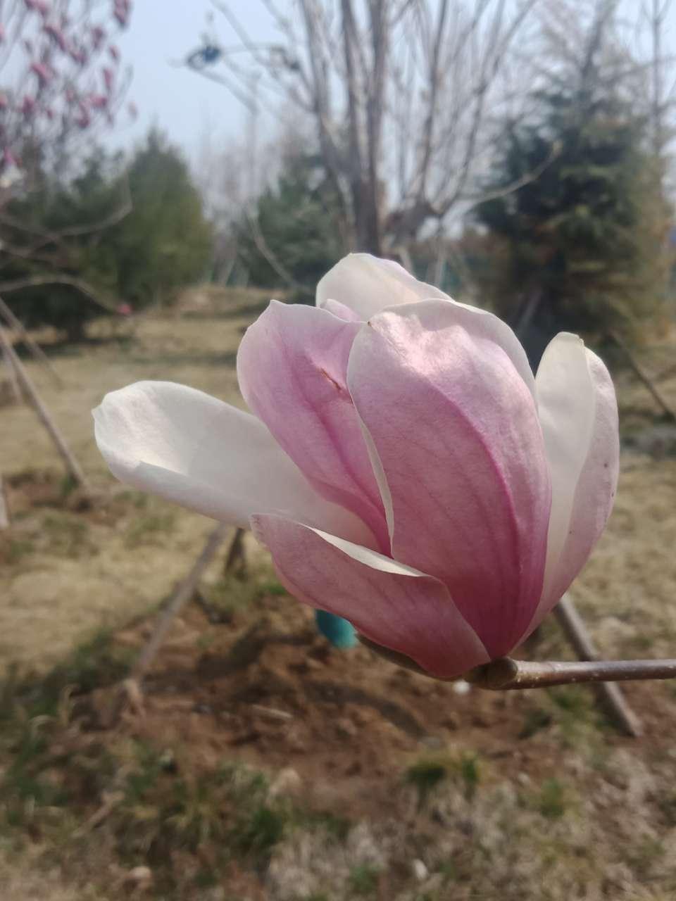 白玉兰花,紫玉兰花,好像会动-15.jpg