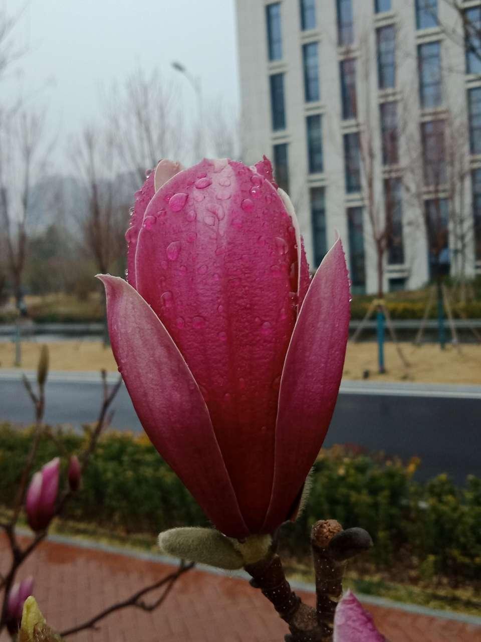 白玉兰花,紫玉兰花,好像会动-24.jpg