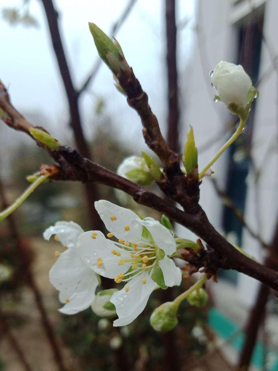 拍不烦的樱花,连翘花-5.jpg