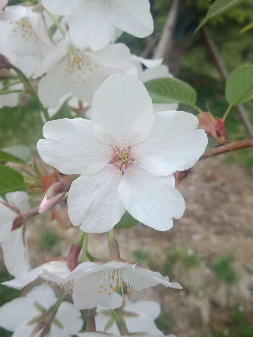 狼毒花,荠菜花,紫荆花,春天处处都好看-1.jpg