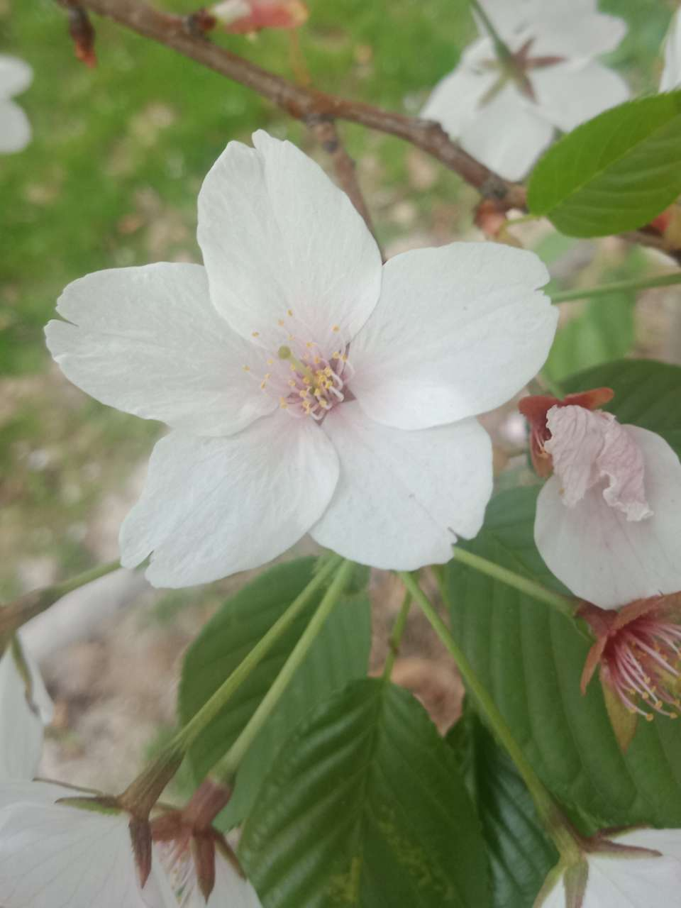 狼毒花,荠菜花,紫荆花,春天处处都好看-4.jpg