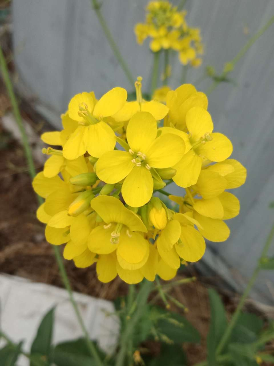 狼毒花,荠菜花,紫荆花,春天处处都好看-20.jpg