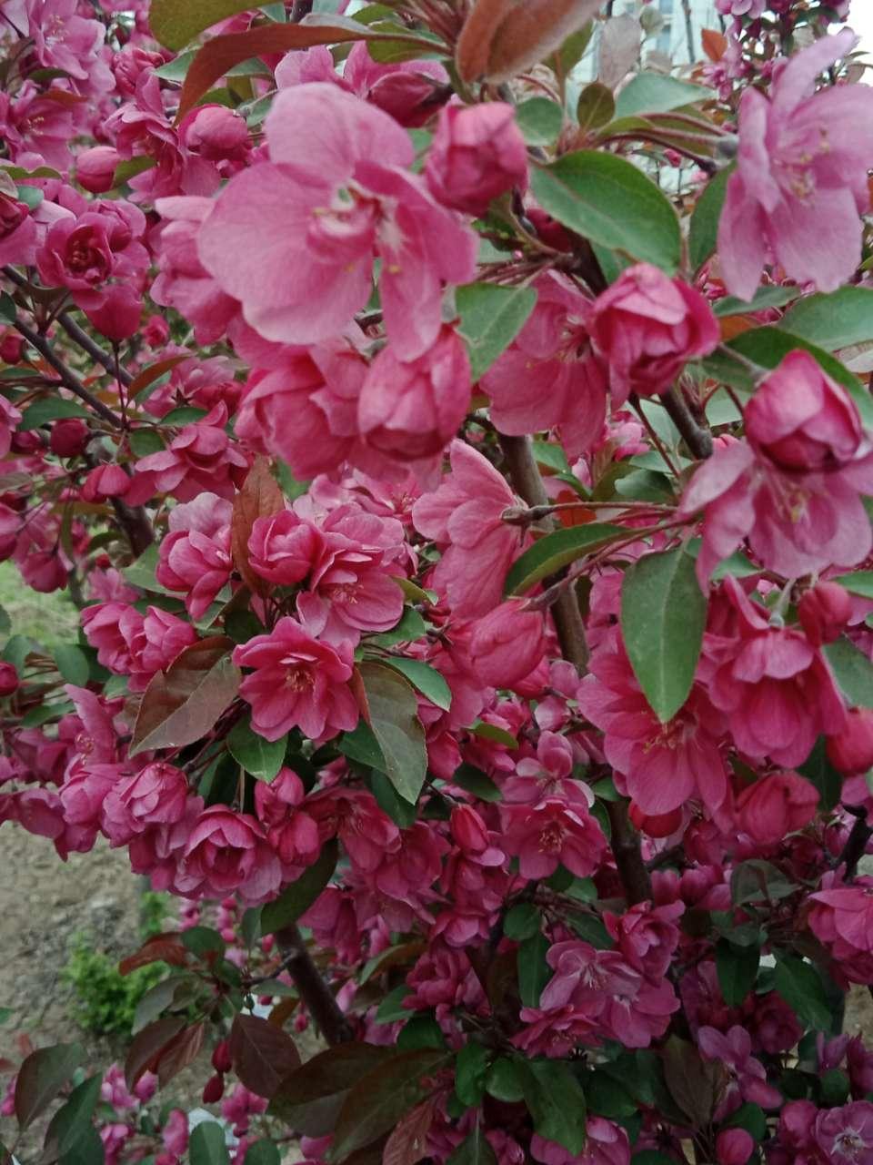 狼毒花,荠菜花,紫荆花,春天处处都好看-28.jpg