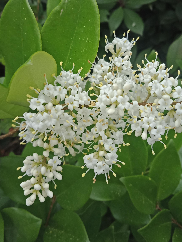 在金森女贞的花丛中,蜜蜂全神贯注采蜜,有人拍照,也不飞走。-3.jpg