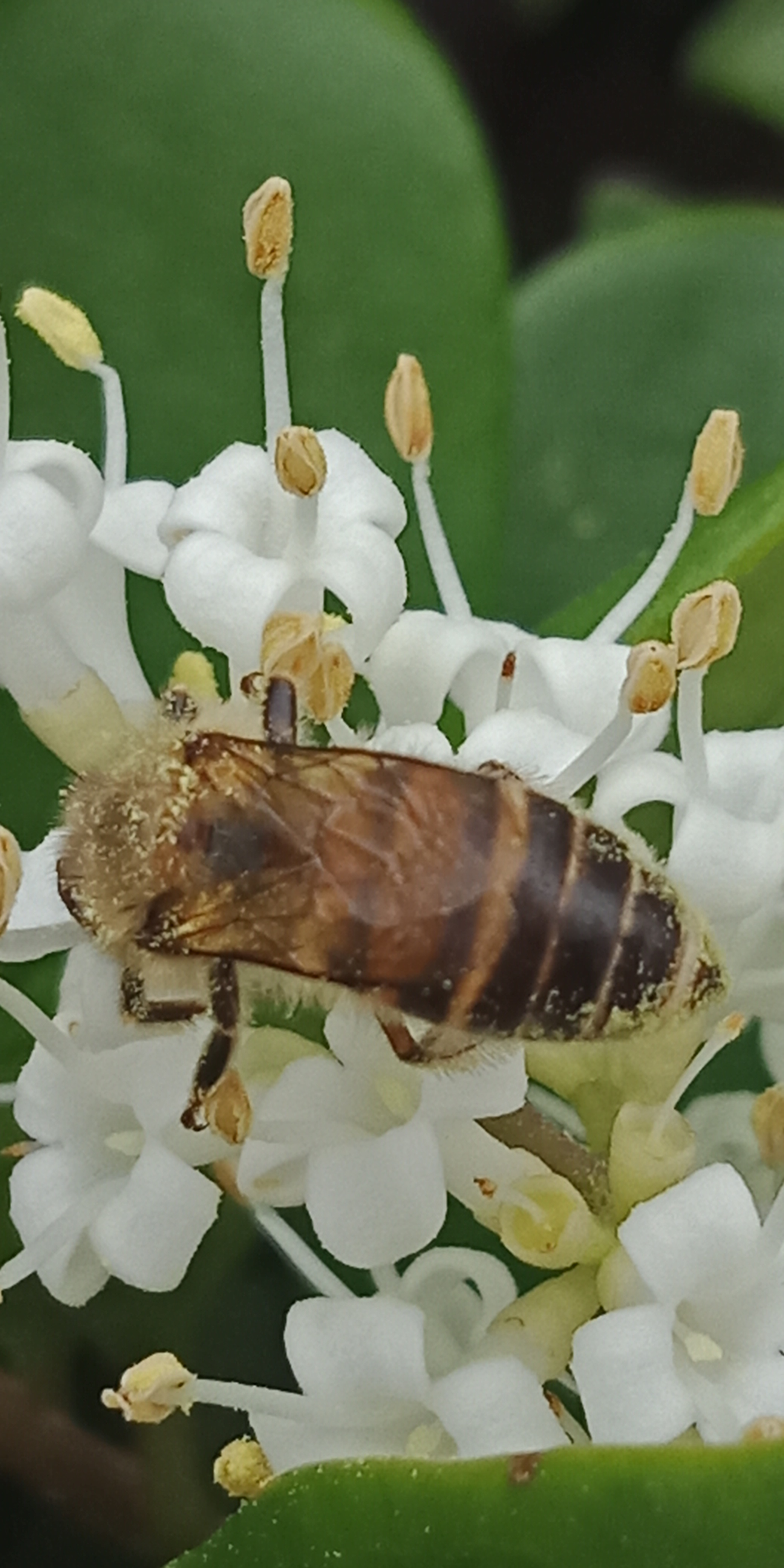 在金森女贞的花丛中,蜜蜂全神贯注采蜜,有人拍照,也不飞走。-8.jpg