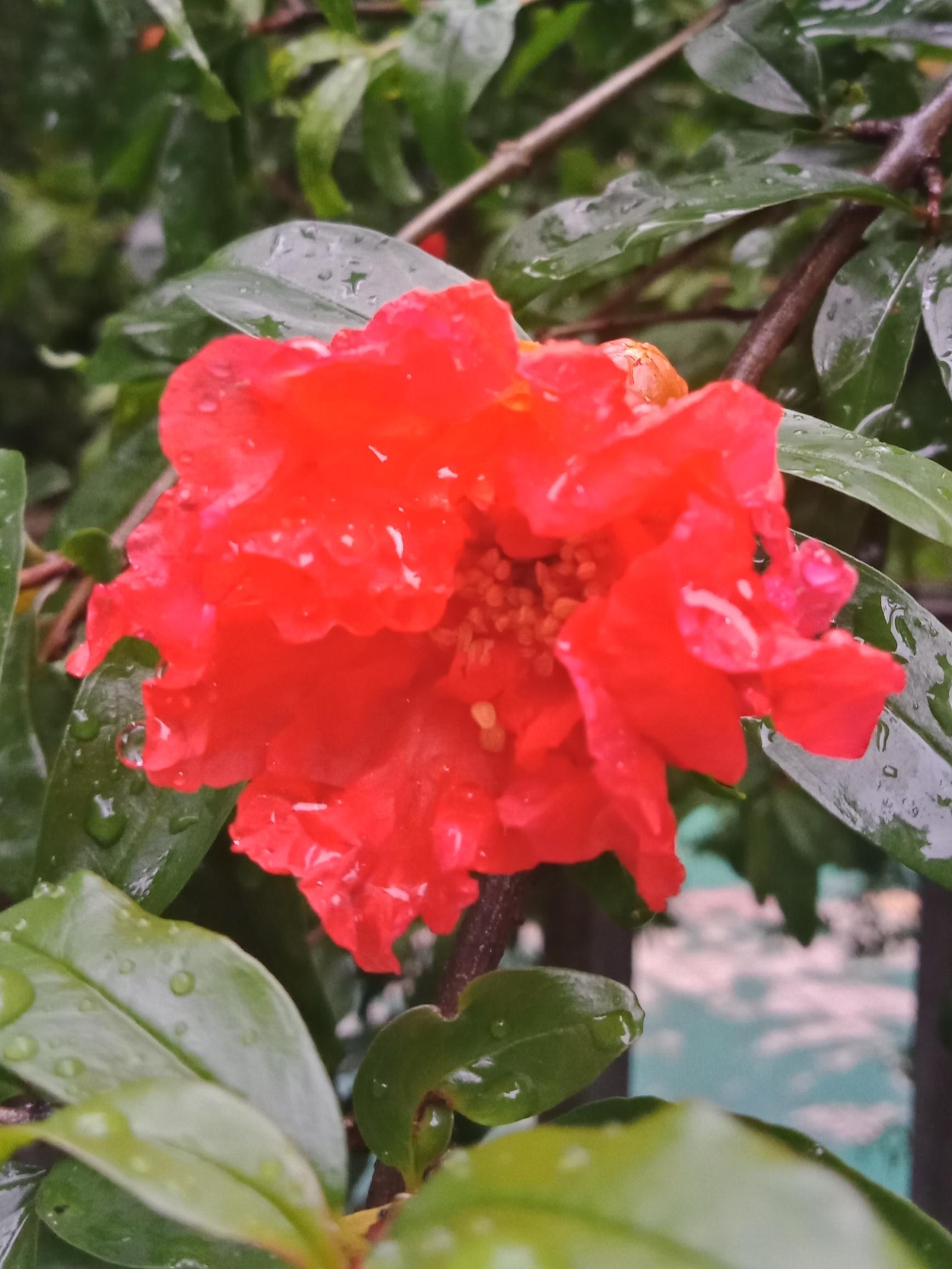 雨打石榴花-3.jpg