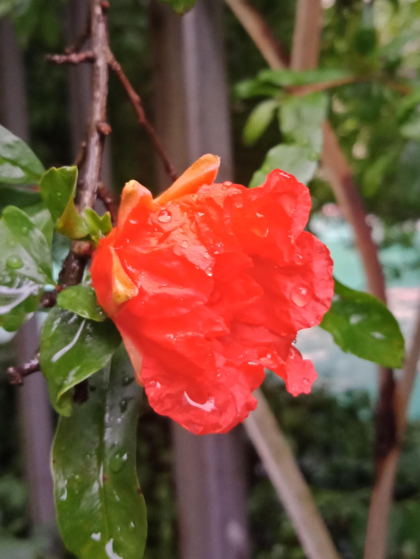 雨打石榴花-5.jpg