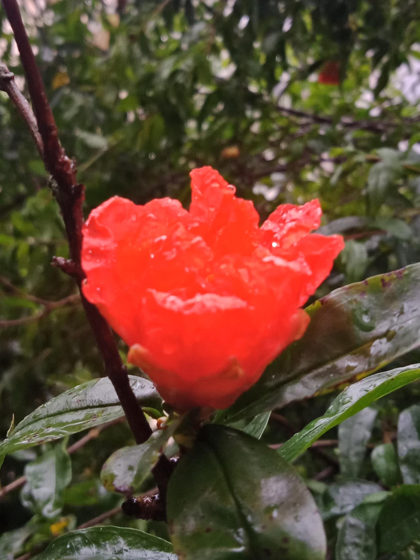 雨打石榴花-4.jpg