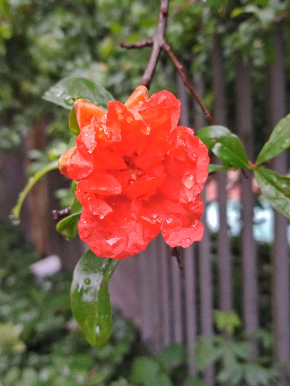 雨打石榴花-10.jpg