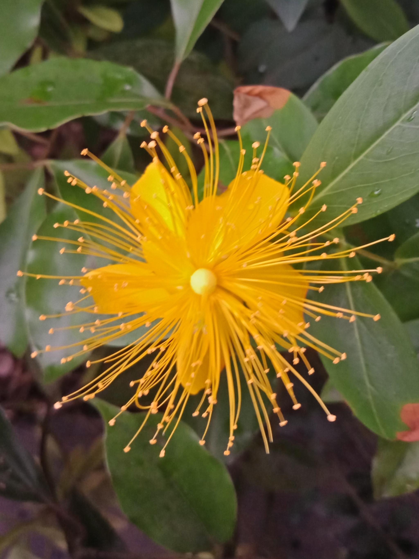黄金金丝一样的花朵,金丝桃-5.jpg