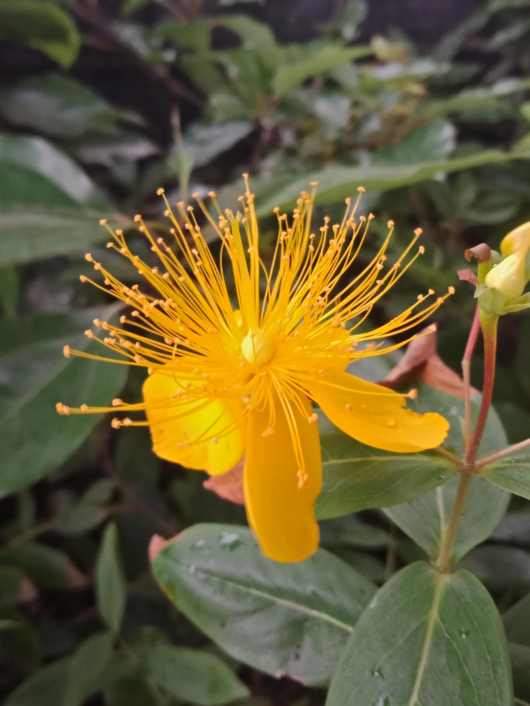 黄金金丝一样的花朵,金丝桃-8.jpg