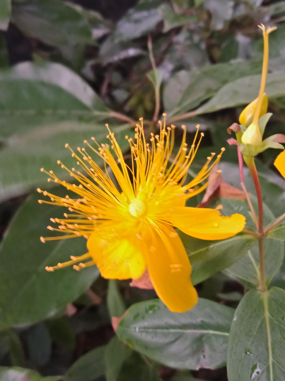 黄金金丝一样的花朵,金丝桃-9.jpg